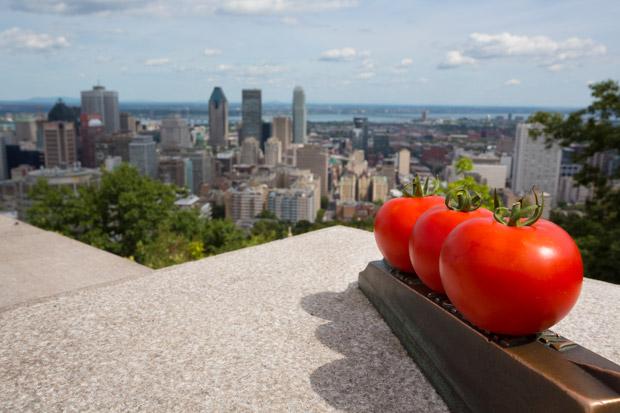 La toute première ferme Lufa, aménagée sur la toiture d'un bâtiment industriel de Montréal, s'étend sur 2 800 m². Copyright : Lufa Farms / Wikimedia