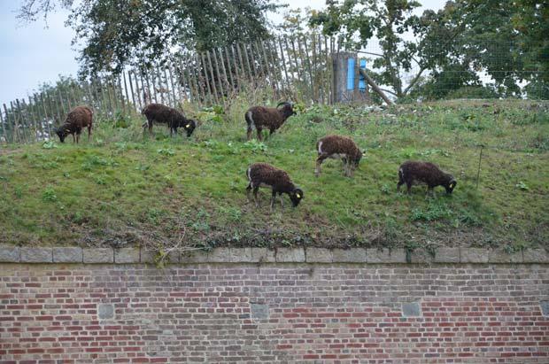 Moutons broutant dans le parc de la Citadelle, à Lille.  Copyright : Lamiot / Wikimedia