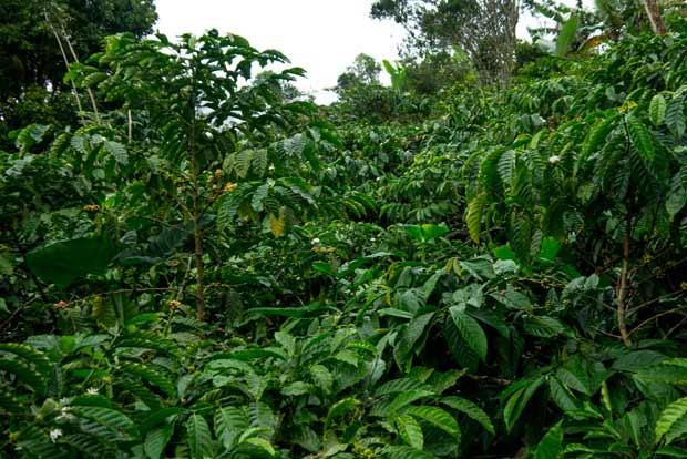 La jungle que nous traversons se transforme et se confond parfois avec des plantations de café qui restent sauvages - crédits Antoine Dubois