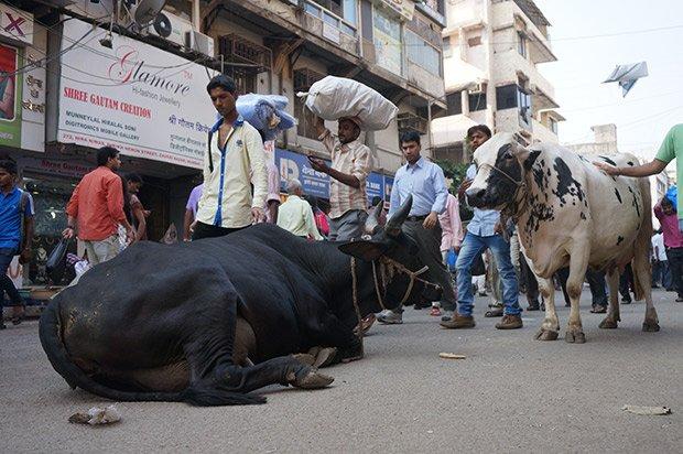 Vache - Mumbai. Crédits : Clément Pairot
