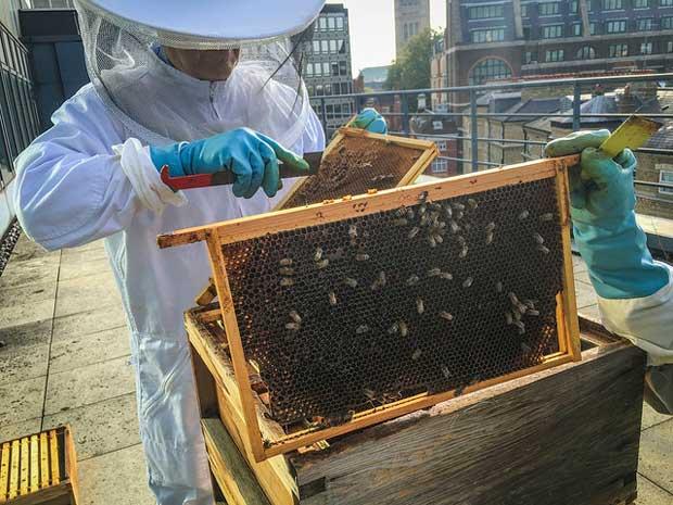 Les ruches se multiplient sur le toit de nombreux bâtiments urbains.