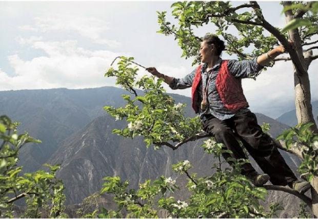 Dans le Sichuan, en Chine, des femmes-abeilles réalisent à la main le travail de pollinisation afin de pallier la disparition des abeilles dans la région © Gilles Sabrié pour Le Monde.
