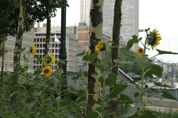"""À Bruxelles, la """"green guerilla"""" prend place au pied des platanes où des tournesols sont plantés"""