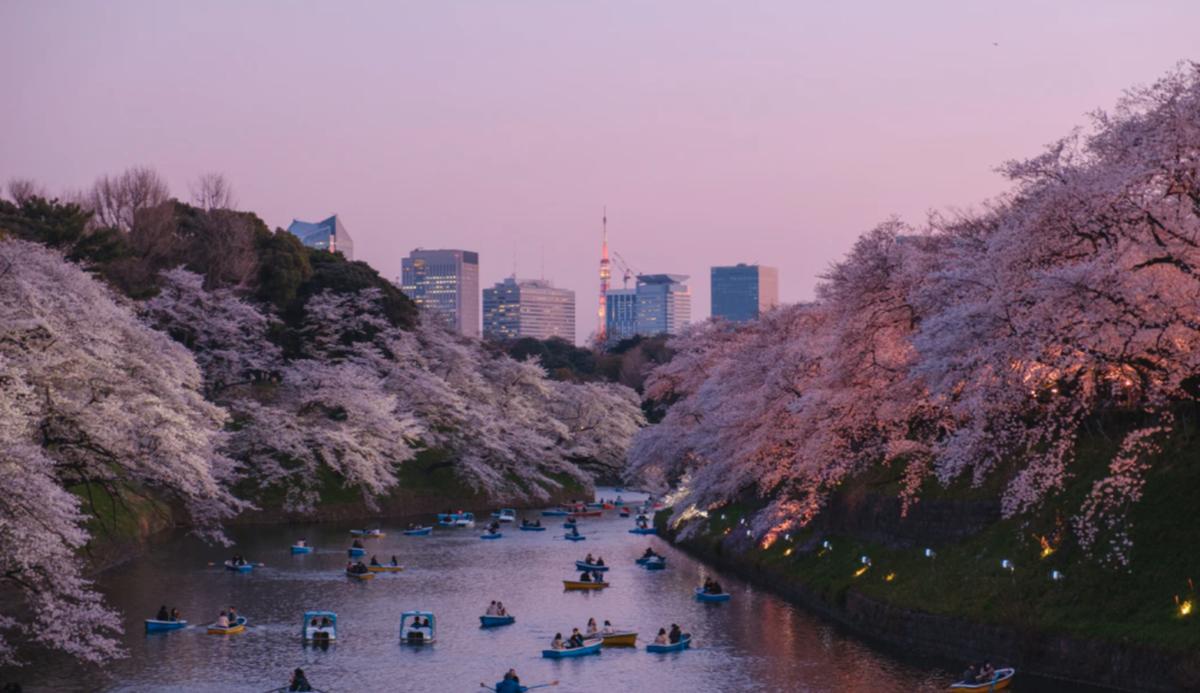 Chaque année, les japonais célèbrent la floraison des cerisiers à Tokyo - Source : @yukato via unsplash