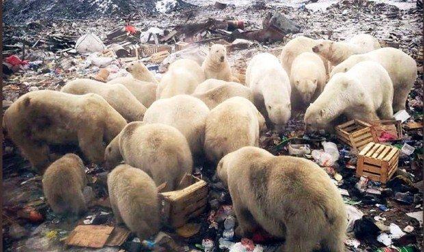 Des ours affamés se retrouvent dans une décharge en Sibérie - Peter Murtagh
