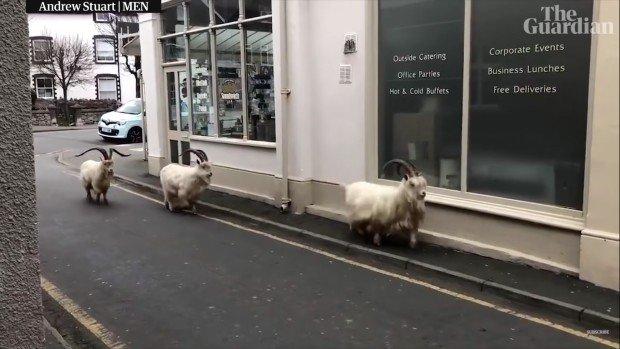 Des chèvres à Llandudno dans le Pays de Galle pendant le confinement - Guardian News