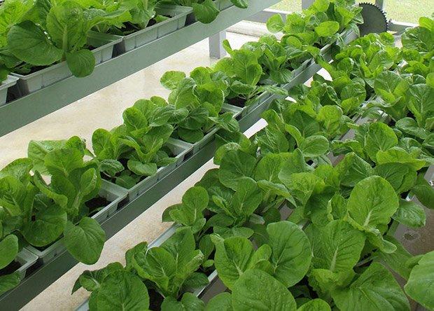 La ferme Sky Greens, à Singapour, permet de produire 500 kg de légumes par jour. Copyright : Sky Greens