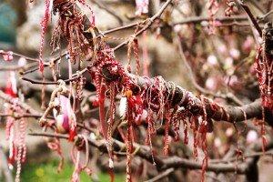 Martenitsa_magnolia_620