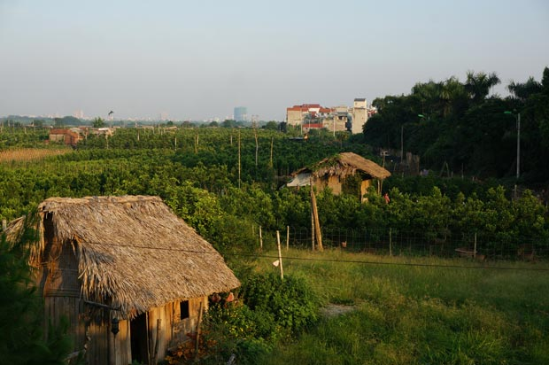 Vergers de Kumquat situés au Nord d'Hanoi, entre la ville et le Fleuve Rouge. Crédits : Clément Pairot